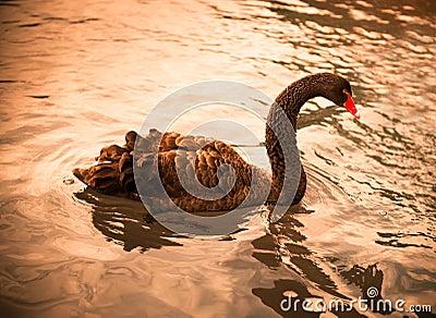 Graceful black swan tonned