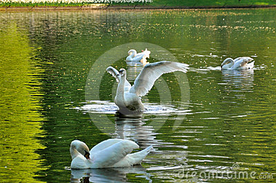 Graceful fluttering swan with 3 others swans