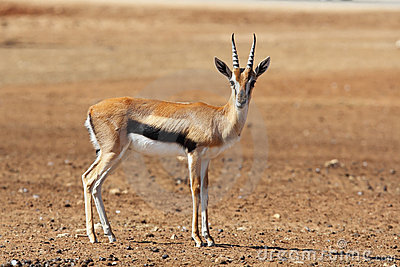 A graceful Gazelle Thomson with striped horns