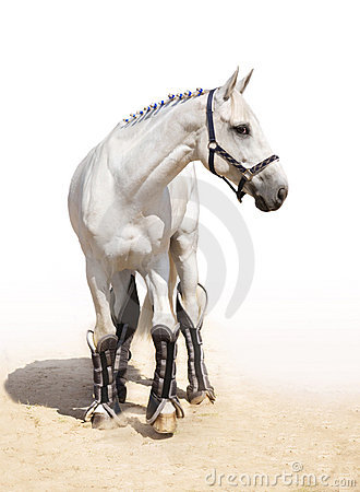 Graceful light grey stallion