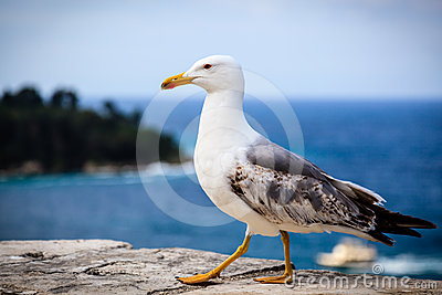 Graceful Seagull