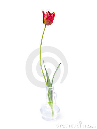 Graceful single tulip
