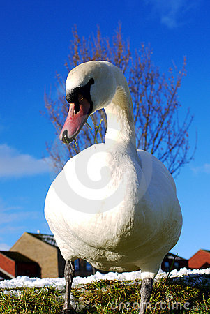 Graceful swan with blue sky