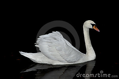 Graceful white swan.
