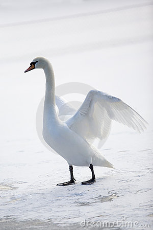 Graceful white swan