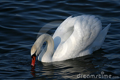 Graceful white swan on a water