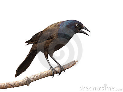 Grackle intimida grito y mirada