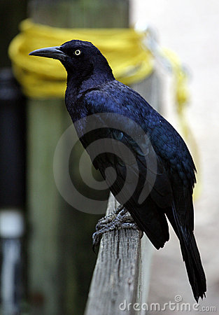 Free Grackle On Fence Royalty Free Stock Photos - 1922348