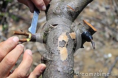 Gardener grafting fruit tree