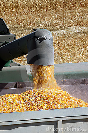 Grain Corn Flowing Into Hopper