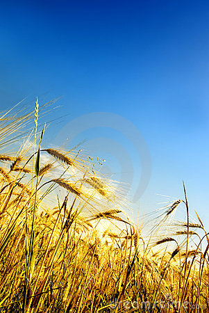 Free Grain Field Royalty Free Stock Images - 5247779