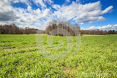 Grain field green grass and forest