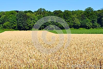 Grain field growing