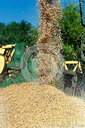 Grain harvester combine discharging grain