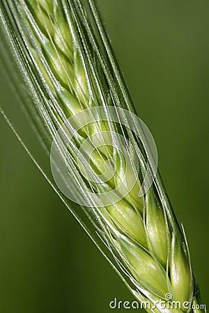 Grain on a stalk