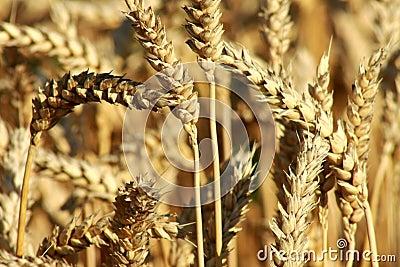 Grain wheat crop details
