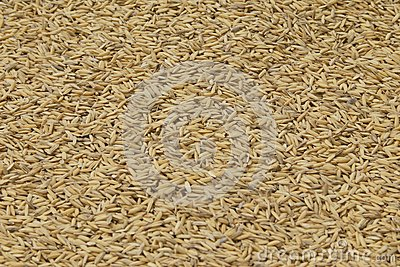 Graines of rice drying