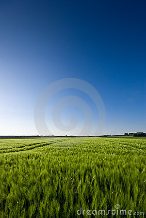 Grainfield and a blue Sky