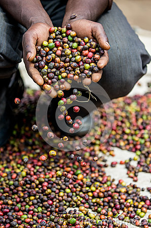 Free Grains Of Ripe Coffee In The Handbreadths Of A Person. East Africa. Coffee Plantation. Royalty Free Stock Photo - 91400375