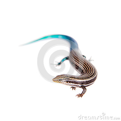 Free Gran Canaria Skink, On White Stock Images - 54557754