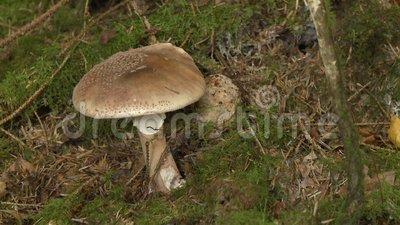 Gran hongo en el suelo metrajes