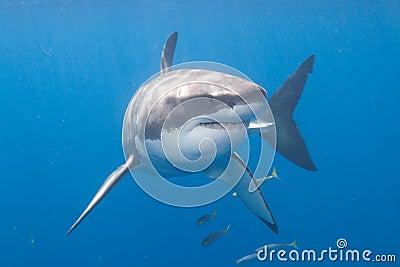Gran tiburón blanco en la isla de Guadalupe