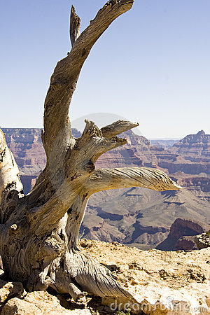Grand Canyon Juniper Stump
