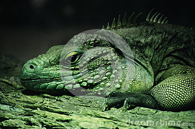 Blue Iguana Royalty Free Stock Photos - Image: 22199348