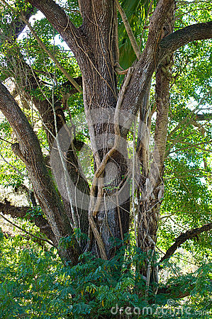 Grand chêne avec la vigne