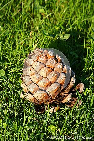 Grand cône de pin