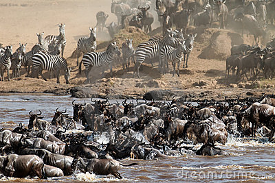 Grand groupe de wildebeest traversant le fleuve Mara