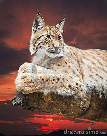 Grand Lynx Photos stock - Image: 25096653