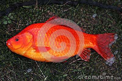 Grand poisson rouge photo stock image 39828857 for Achat de poisson rouge