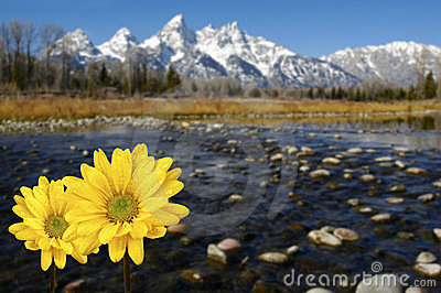 Grand Tetons in spring with yellow flowers