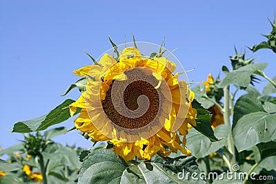 Grande fleur jaune du soleil photographie stock image 26303822 - Fleur du soleil ...