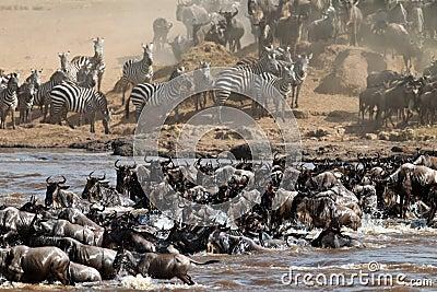 Grande gruppo di wildebeest che attraversa il fiume Mara