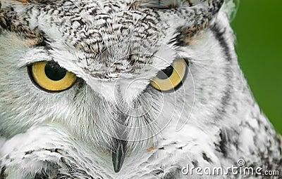 Grande olhar fixo da volta da coruja Horned (virginianus do bubão)