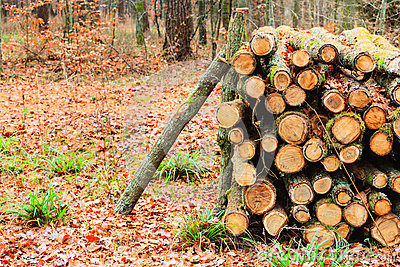grande pile de bois dans la for t d 39 automne photo stock. Black Bedroom Furniture Sets. Home Design Ideas