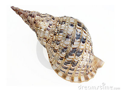 Grande seashell