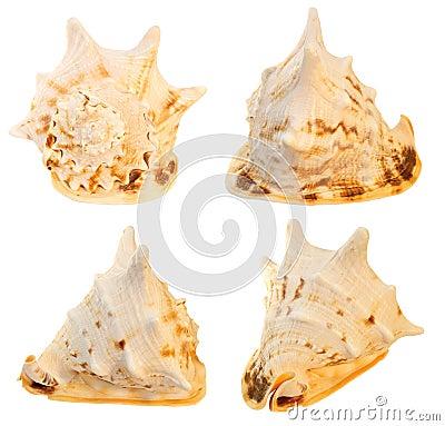 Grande seashell. collage