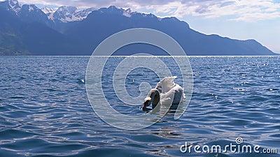 Grande Swan Branco Nadine em Lago Clear Mountain no pano de fundo dos Alpes suíços filme
