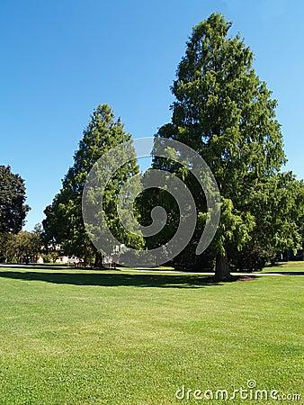 Grandi alberi sempreverdi