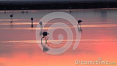 Grandi fenicotteri destinati all'alimentazione con tramonto video d archivio