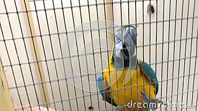 Grandi pappagalli blu e gialli, Ara ararauna sale su una grata di metallo, gabbia con il becco e le gambe stock footage