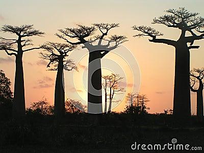 Grandidiers Baobabs