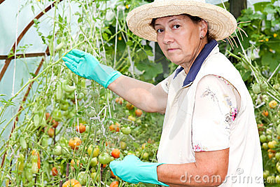 Grandmother grows tomatoes in her garden