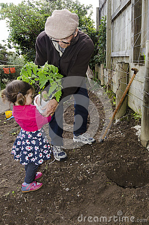 Grandpa and grandchild planting tomato plant