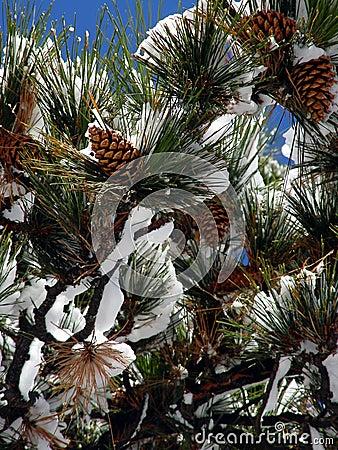 Grands cônes de pin