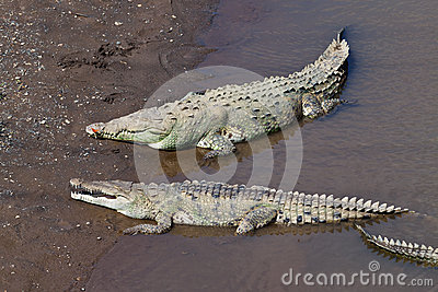 Grands crocodiles américains