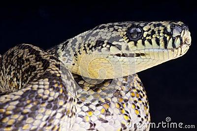 Granite carpet python